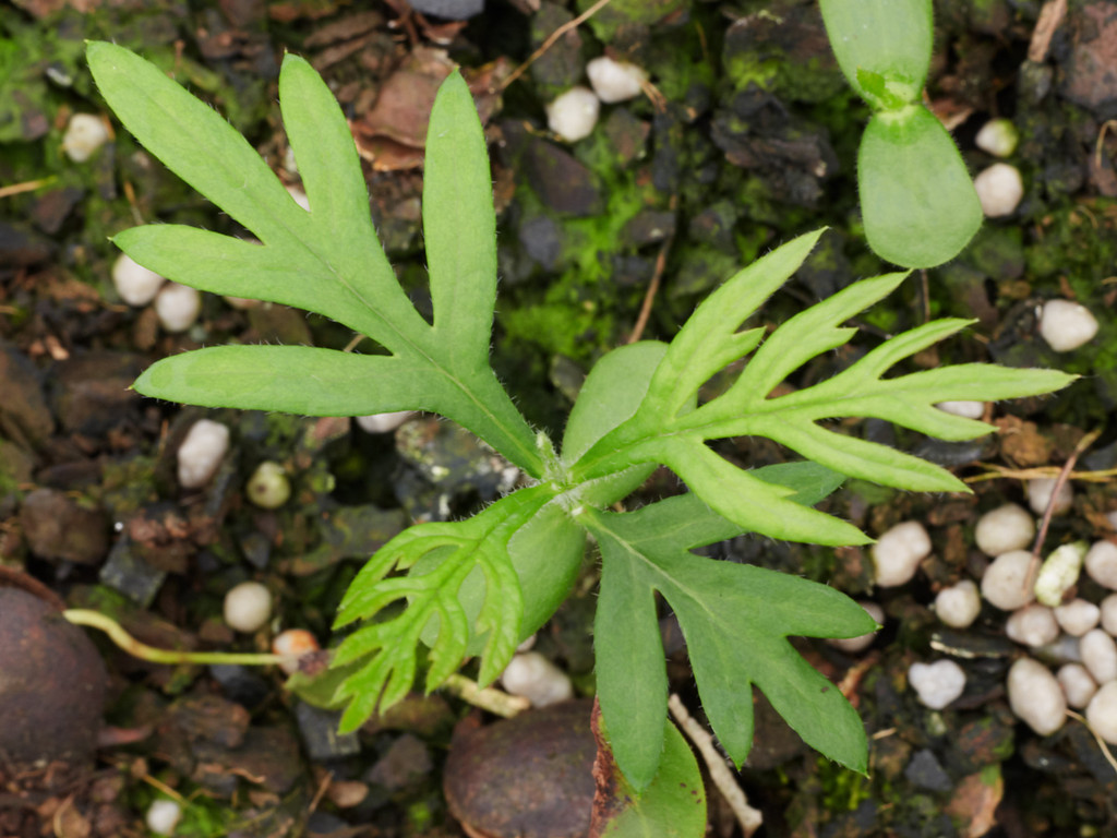 Grevilia robusta (Silky Oak)