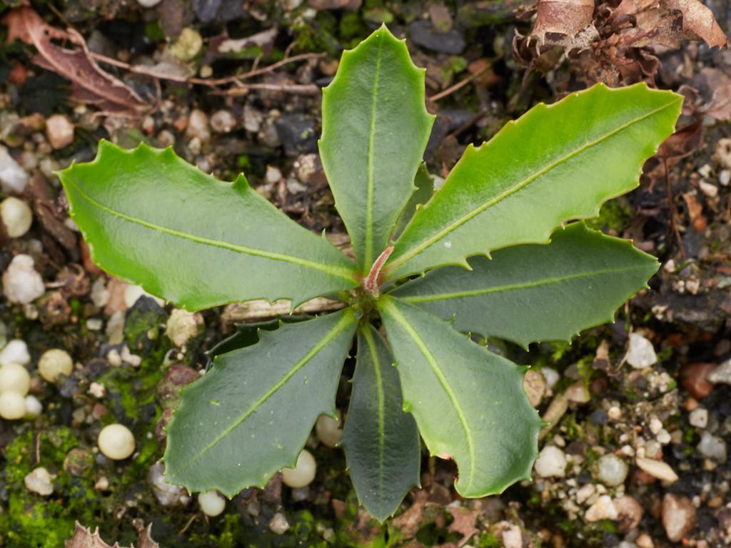 Myrsine variabilis (Muttonwood)