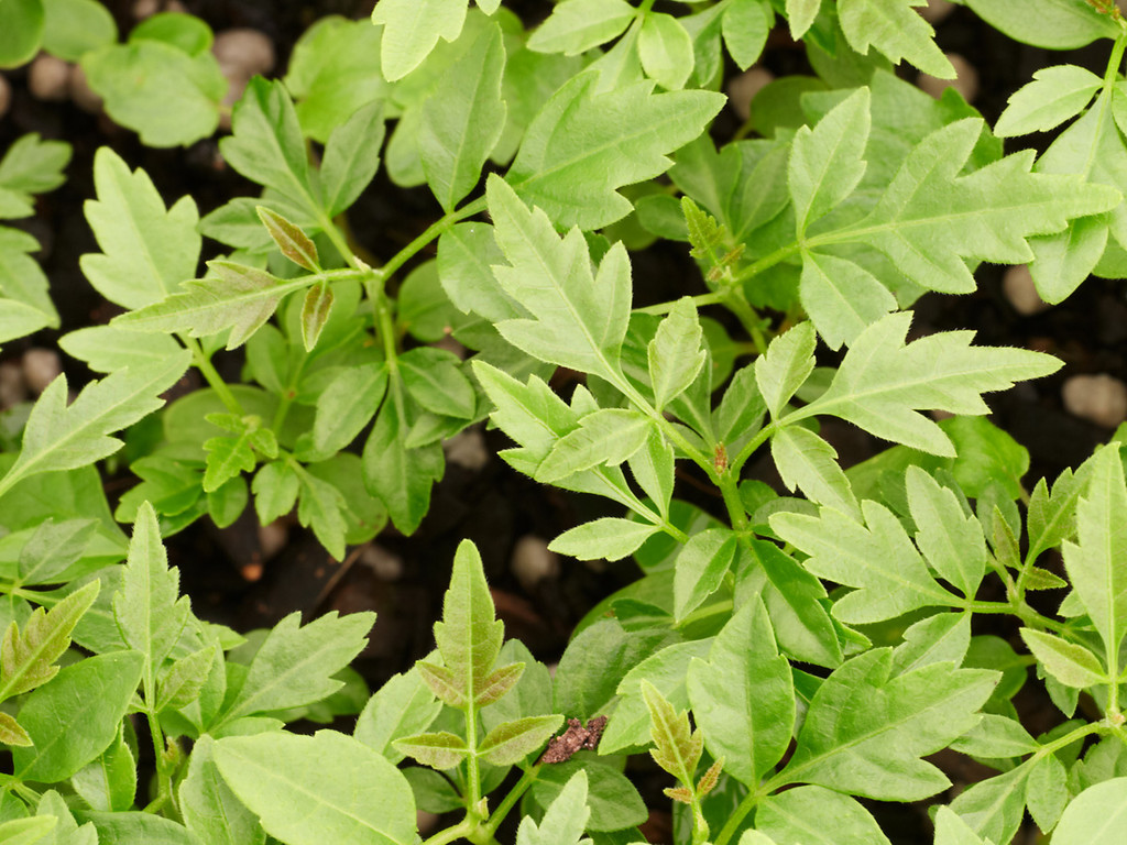 Toona ciliata (Red Cedar)
