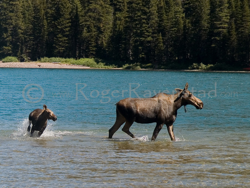 MOOSE AND YEARLING