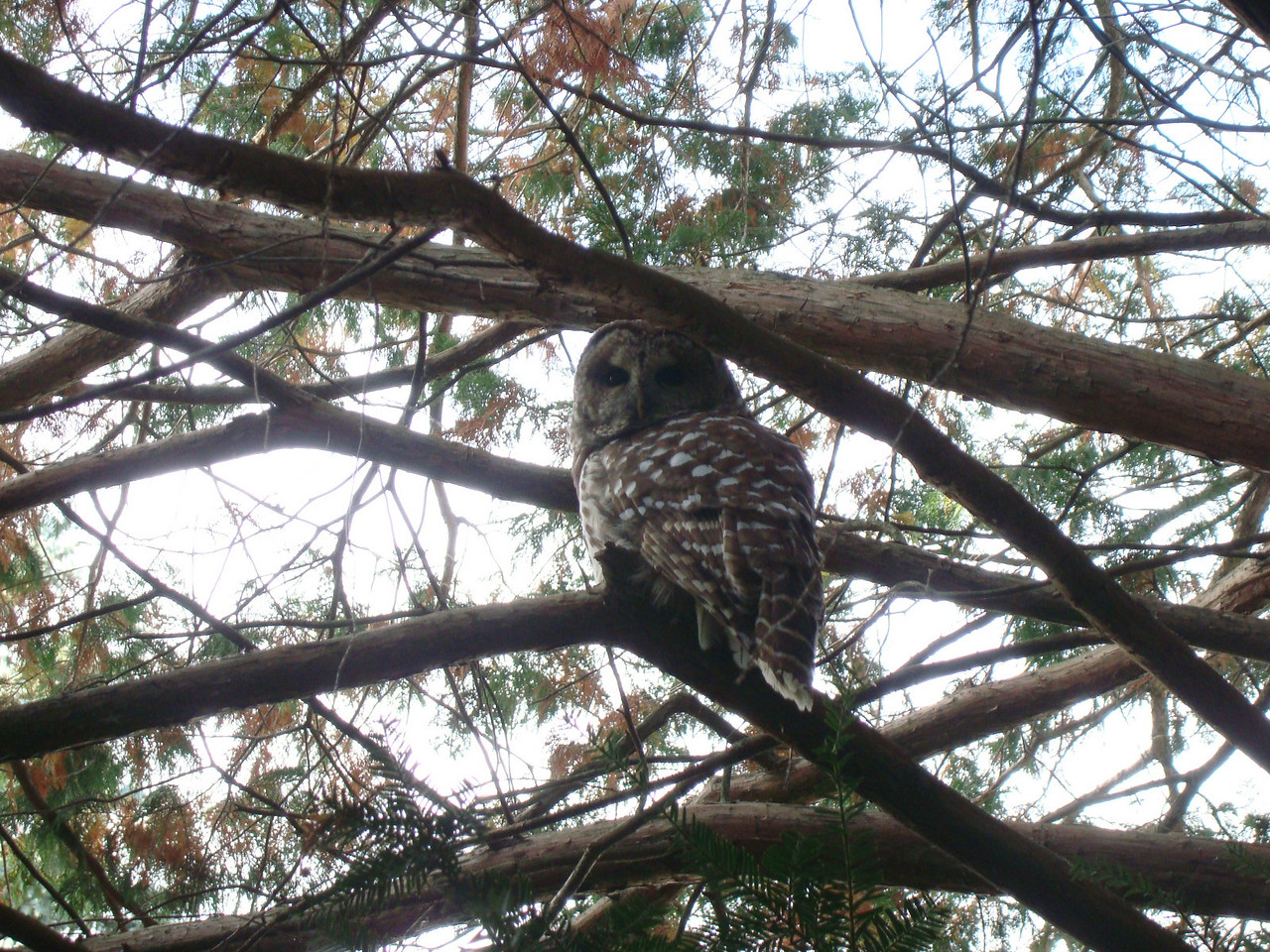 Barred Owl, Prospect Street, Amherst Massachusetts - October 17, 2009