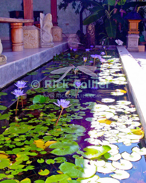 Amanoka Villa, Discovery Bay, Saint Ann Parish, Jamaica.  Water lilies (Nymphaeaceae) bloom and a dragonfly sculpture decorates a reflecting pool on the patio at Amanoka.  © Rick Collier<br /> <br /> <br /> <br /> <br /> <br /> Jamaica Discovery Bay Dry Harbor Bay Amanoka Villa tropical paradise relaxation calm water lily nymphaeaceae water lilies dragonfly sculpture figure pool reflecting pool flower flowers sunlight shade