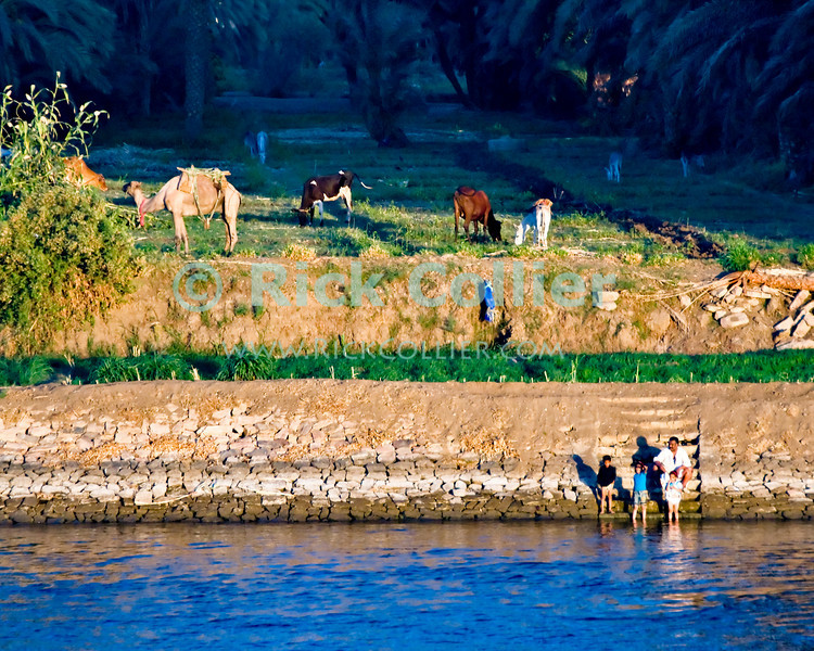 """Nile River, Egypt -- A farmer sits with his family on the banks of the Nile River. © Rick Collier / RickCollier.com.<br /> <br /> <br /> <br /> travel; vacation; tour; tourism; tourist; destination; Egypt; Nile; """"Nile River""""; camel; cow; donkey; farm; farming; shore; river; steps; wading; splashing; play"""