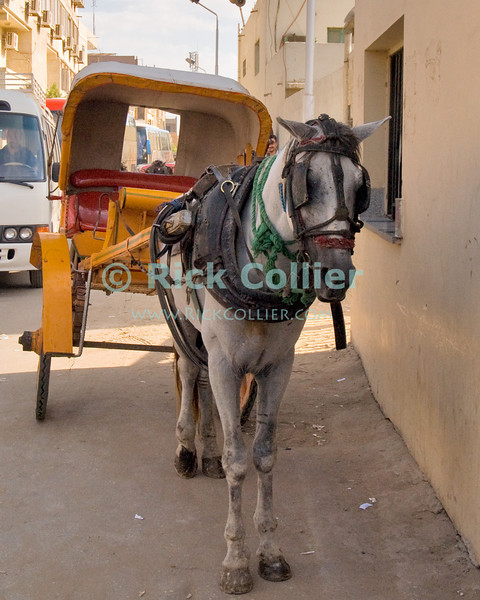 """Giza, Cairo, Egypt -- A horse and carriage taxi await their fare outside the pyramids complex at Giza. © Rick Collier / RickCollier.com<br /> <br /> <br /> <br /> <br /> <br /> travel; vacation; destination; Egypt; Cairo; Giza; pyramids; pyramid; """"Pyramids at Giza""""; tourist; tourism; carriage; horse; taxi; """"horse-drawn carriage"""""""