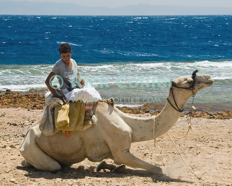 Red Sea, Dahab, the Sinai, Egypt.  A bedouin boy strikes a contemplative pose as his camel kneels by the Red Sea.  © Rick Collier<br /> <br /> <br /> <br /> <br /> <br /> Egypt 'Red Sea' 'Ras Mohammed' Dahab Sharm 'Sharm el-Sheikh' 'Sharm al-Shaykh' camel seashore Sinai Bedouin arab herder child children ride tourist tourism