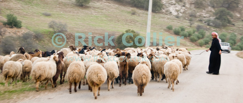 Shepherd -- A bedouin shepherd manages his flock on a road in northwestern Jordan.  © Rick Collier<br /> <br /> <br /> <br /> Jordan 'Umm Qais' road country shepherd sheep Arab Bedouin herd