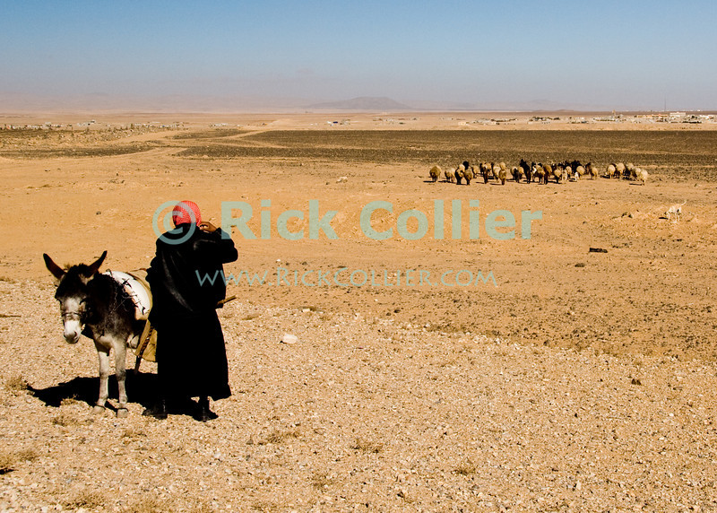 A bedouin shepherd watches his flock in the high desert near Petra, Jordan.  © Rick Collier<br /> <br /> <br /> <br /> Jordan arab bedouin 'desert highway' desert sheep herd flock shepherd donkey