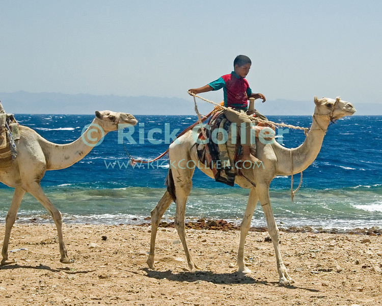 Red Sea, Dahab, the Sinai, Egypt.  A bedouin boy brings his family's camels to offer tourists camel rides by the Red Sea.  © Rick Collier<br /> <br /> <br /> <br /> <br /> <br /> Egypt 'Red Sea' 'Ras Mohammed' Dahab Sharm 'Sharm el-Sheikh' 'Sharm al-Shaykh' camel seashore Sinai Bedouin arab herder child children tourist tourism ride rider
