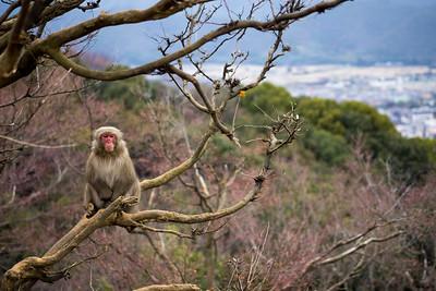 Monkey Above Kyoto