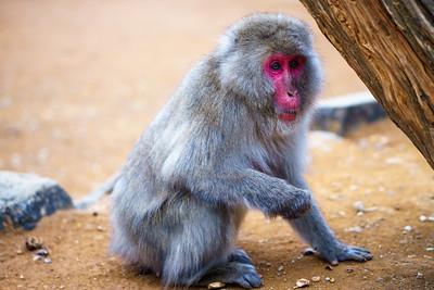 Monkey in Kyoto, Japan