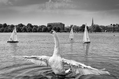 Swan in Kensington Gardens, London