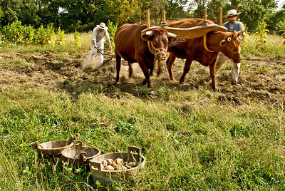 The farms are harvesting potatoes, with oxen, the have grown at the 1850 Pioneer farm at Living History Farms.