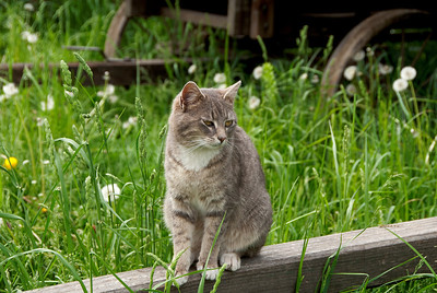 The farm cat is enjoying the nice lazy day at Living History Farms' 1900 Pioneer Farm