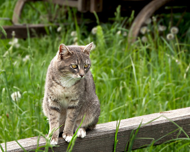 A curious cat on a wooden wagon tongue at the 1900 farm at Living History Farms.