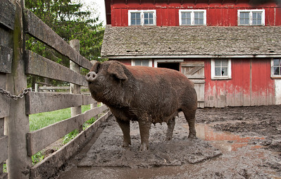 The large sow is sure making a pig out herself by playing the the mud at the 1900 farm at Living History Farms.