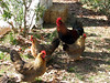 Rooster & chickens we had in camp