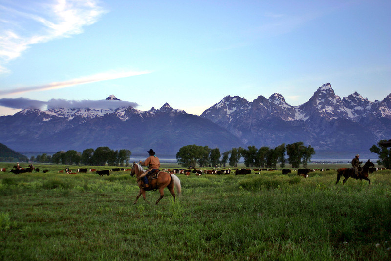 Cattle Drive at the Base of the Tetons