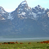 Cattle Drive in the Tetons