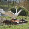Benedict the bewick swan