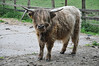 A selection of severn pictures showing the Highland cows in Stewart Park Middlesbrough.<br /> <br /> 3rd Nov 2010
