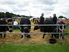 Cattle at the Ceveland show in Stewart park