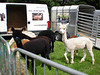 Lamas at the Cleveland Show in Stewart park