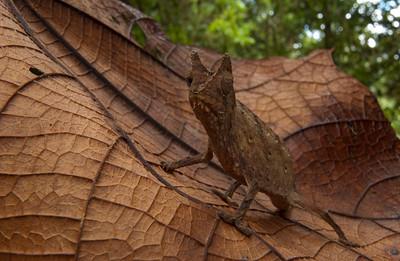 Pygmy chameleon (Brookesia superciliaris) from Madagascar