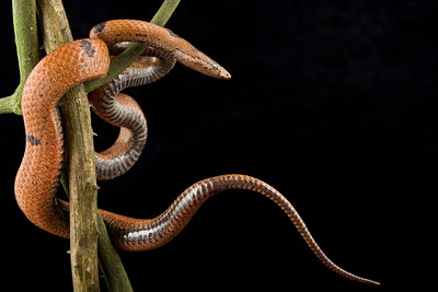 Wolf snake (Lycophidion nigromaculatum) a small, non-venomous snake, which feeds primarily on skinks.