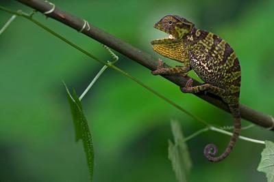 A young forest chameleon (Chamaeleo gracilis.)
