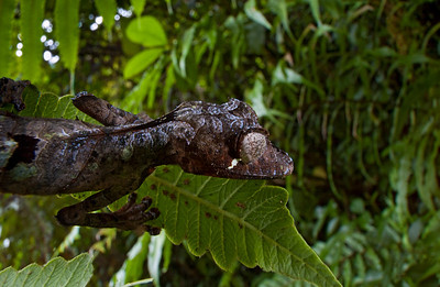 The Satanic leaf-tailed gecko (Uroplatus phantasticus) is an excelent mimic of dry leaves and twigs. It can easily change to color thanks to the presence of chromatophores in its skin. This individual was photographed in the rainforest of central Madagascar (Ranomafana National Park).