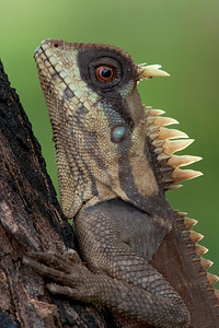 Natalia's forest dragon (Acanthosaura nataliae) from Cambodia