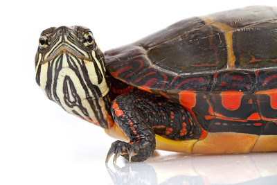 A young painted turtle (Chrysemys picta) from Massachusetts.