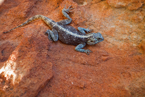A male Southern Rock Agama (Agama atra) from the Cederberg Mountains in South Africa