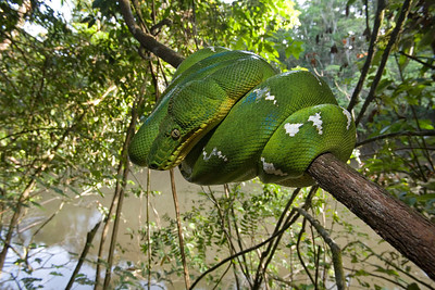 Emerald tree boa (Corallus caninus) is an aggressive, arboreal snake that feeds primarily on birds and small mammals. It detects its prey using heat-sensitive labial pits located along its upper jaw.