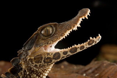 A young individual of smooth-fronted caiman (Paleosuchus trigonatus). This species prefers more turbid waters than other species of the genus.