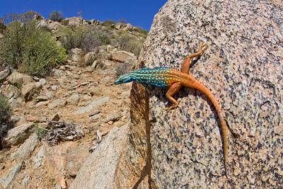 Cape Flat Lizard (Platysaurus capensis) from Succulent Karoo of South Africa