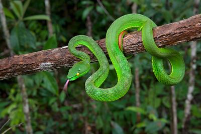 Pit viper (Trimeresurus albolabris) from Cambodia
