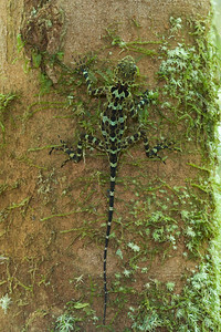 Collared tree runner (Tropidurus (Plica) plica) is a sit-and-wait predator from lowland forests of the northern part of S. America. This lizard relies mostly on crypsis as its defense but can run extremely fast if frightened.