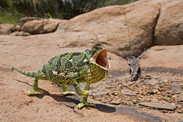 Flap-necked chameleon (Chamaeleo dilepis) from South Africa puffs up and gapes its mouth in a defensive display.