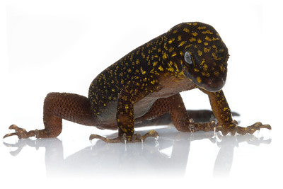 Annulated gecko (Gonatodes annularis) from Suriname