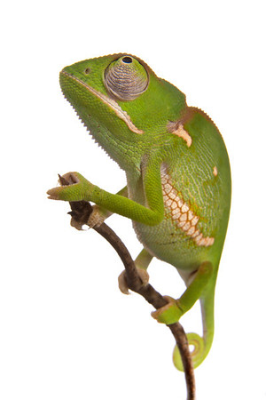 Flap-necked chameleon (Chamaeleo dilepis) from Mozambique