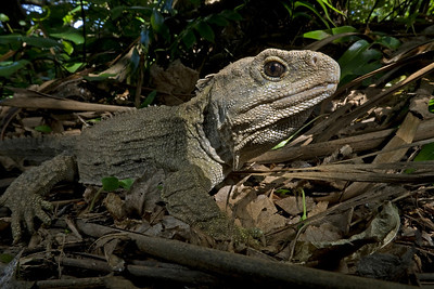 The ancient reptile tuatara (Sphenodon punctatus) can only be found in a few places in New Zealand, where it is threatened by invasive species and the habitat loss.