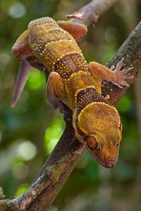 Banded gecko (Hemidactylus fasciatus)