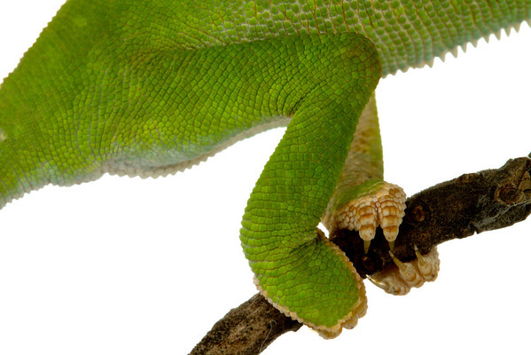 Hind feet of the Flap-necked chameleon (Chamaeleo dilepis) from Mozambique
