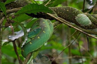 Tree viper (Atheris chloraechis) from Ghana