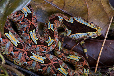 Horned viper (Bitis nasicornis) is known for it beautiful coloration and the loudest hiss of any African snake.