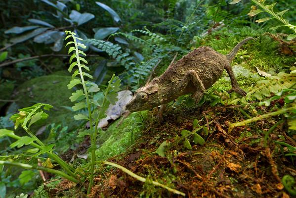 Mt. Gorongosa pygmy chameleon (Rhampholeon gorongosae) from Mozambique, a species endemic to montane forests of Mt. Gorongosa.