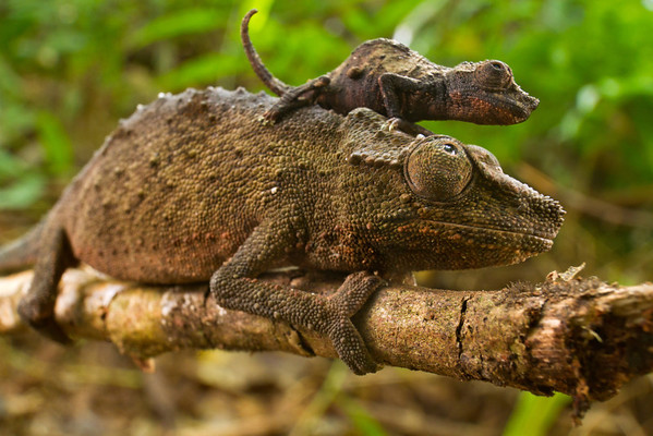 A female and a juvenile of the Mt. Gorongosa pygmy chameleon (Rhampholeon gorongosae) from Mozambique, a species endemic to montane forests of Mt. Gorongosa.