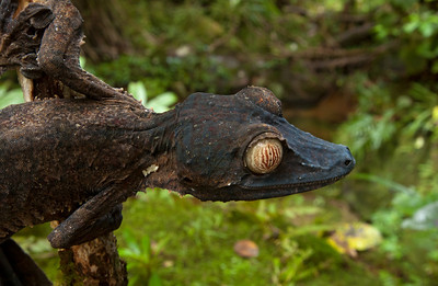 Giant leaf-tailed gecko (Uroplatus fimbriatus) from Madagascar