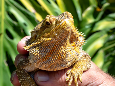 20200229 Bearded Dragon (Pogona sp.)